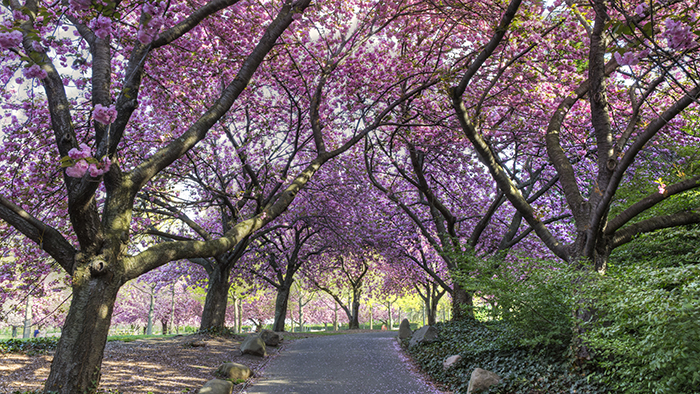 Cherry Blossoms in the Brooklyn Botanic Garden